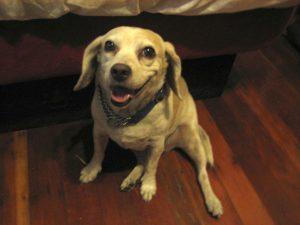 More Maggie the Lemon Beagle, HeidiMastrogiovanni.com