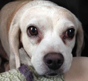 Maggie the Lemon Beagle, HeidiMastrogiovanni.com