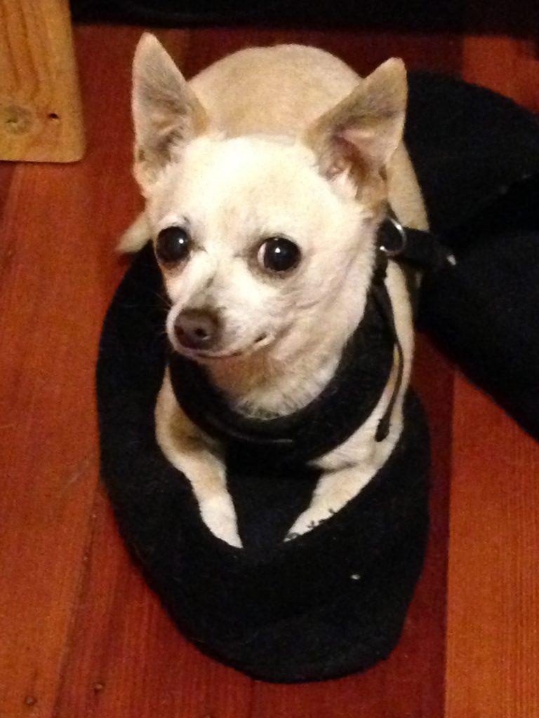 Squeaks the Chihuahua in a slipper - HeidiMastrogiovanni.com